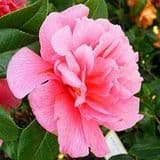 Camellia 'Innovation' - Find Azleas,Camellias,Hydrangea and Rhododendrons at Loder Plants